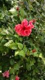 Κόκκινα Hibiscus Στοκ φωτογραφίες με δικαίωμα ελεύθερης χρήσης