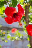 Κόκκινα hibiscus flowerchinese αυξήθηκαν σε Chania Στοκ εικόνα με δικαίωμα ελεύθερης χρήσης