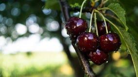 Κόκκινα juicy κεράσια Στοκ Εικόνες