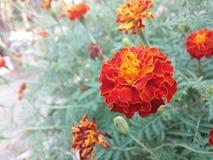 Κόκκινα marigolds Στοκ φωτογραφία με δικαίωμα ελεύθερης χρήσης