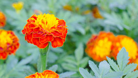 Κόκκινα Marigolds Frash Στοκ φωτογραφία με δικαίωμα ελεύθερης χρήσης