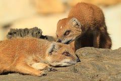 Κόκκινα meerkats Στοκ εικόνες με δικαίωμα ελεύθερης χρήσης
