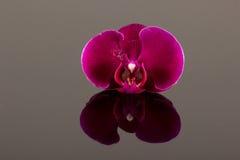 Κόκκινα orchids Στοκ φωτογραφία με δικαίωμα ελεύθερης χρήσης
