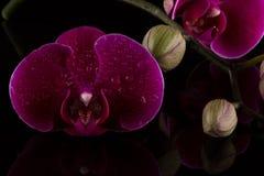 Κόκκινα orchids Στοκ Φωτογραφία
