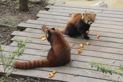 Κόκκινα pandas Στοκ εικόνα με δικαίωμα ελεύθερης χρήσης
