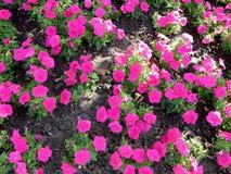 Κόκκινα pansies λουλουδιών στο χορτοτάπητα Στοκ φωτογραφία με δικαίωμα ελεύθερης χρήσης