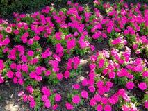 Κόκκινα pansies λουλουδιών στο χορτοτάπητα Στοκ Φωτογραφίες