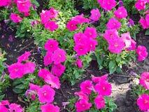 Κόκκινα pansies λουλουδιών στο χορτοτάπητα Στοκ Φωτογραφία