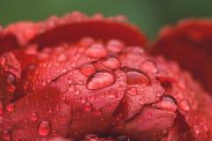 Κόκκινα peonies που ανθίζουν στον κήπο Στοκ Εικόνα