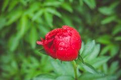 Κόκκινα peonies που ανθίζουν στον κήπο Στοκ Εικόνες