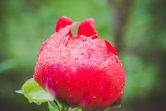 Κόκκινα peonies που ανθίζουν στον κήπο Στοκ Φωτογραφία