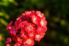 Κόκκινα phloxes Καλλιεργημένο λουλούδι Στοκ Εικόνες