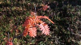 Κόκκινα pinnate φύλλα του Rowan απόθεμα βίντεο