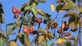 Κόκκινα rosehip μούρα ενάντια σε έναν μπλε ουρανό απόθεμα βίντεο