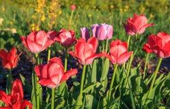 Κόκκινα tulps, άνοιξη Στοκ Εικόνες