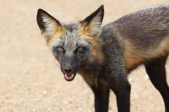 κόκκινα vulpes αλεπούδων Στοκ Φωτογραφία