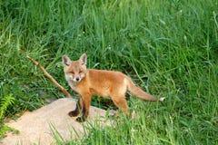 κόκκινα vulpes αλεπούδων Στοκ Φωτογραφίες