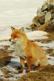 κόκκινες άγρια περιοχές αλεπούδων Στοκ φωτογραφία με δικαίωμα ελεύθερης χρήσης