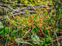 κόκκινες άγρια περιοχές &lamb Στοκ φωτογραφία με δικαίωμα ελεύθερης χρήσης