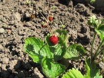 Κόκκινες άγριες φράουλες στον κήπο Στοκ εικόνα με δικαίωμα ελεύθερης χρήσης