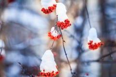 Κόκκινες δέσμες της σορβιάς που καλύπτονται με το πρώτο χιόνι στοκ εικόνα