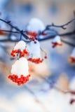 Κόκκινες δέσμες της σορβιάς που καλύπτονται με το πρώτο χιόνι στοκ εικόνες με δικαίωμα ελεύθερης χρήσης