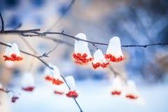 Κόκκινες δέσμες της σορβιάς που καλύπτονται με το πρώτο χιόνι στοκ φωτογραφίες με δικαίωμα ελεύθερης χρήσης