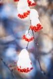Κόκκινες δέσμες της σορβιάς που καλύπτονται με το πρώτο χιόνι στοκ εικόνες