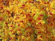 Κόκκινες δέσμες sorbus μεταξύ των φύλλων φθινοπώρου Στοκ φωτογραφία με δικαίωμα ελεύθερης χρήσης