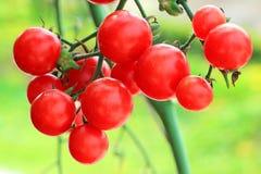 κόκκινες ακόμα ντομάτες φυτών Στοκ εικόνες με δικαίωμα ελεύθερης χρήσης