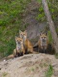 Κόκκινες αλεπούδες Στοκ Εικόνες