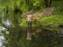 Κόκκινες αλεπού και εξάρτηση Στοκ Φωτογραφία