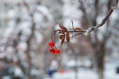 Κόκκινες δέσμες της σορβιάς που καλύπτονται με το πρώτο χιόνι μπλε snowflakes ανασκόπησης άσπρος χειμώνας Χειμερινό τοπίο με τη χ στοκ φωτογραφίες με δικαίωμα ελεύθερης χρήσης