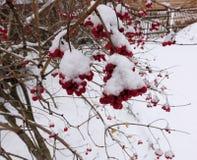 Κόκκινες δέσμες της σορβιάς που καλύπτονται με το πρώτο χιόνι στοκ φωτογραφία με δικαίωμα ελεύθερης χρήσης