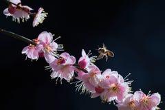 Κόκκινες δαμάσκηνο και μέλισσα στοκ εικόνα με δικαίωμα ελεύθερης χρήσης