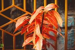 Κόκκινες εγκαταστάσεις λουλουδιών στον εγχώριο κήπο στοκ εικόνα με δικαίωμα ελεύθερης χρήσης