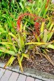 Κόκκινες εγκαταστάσεις φτερών στο βραδύτατο κήπο εγκαταστάσεων της Φλώριδας Στοκ Φωτογραφία