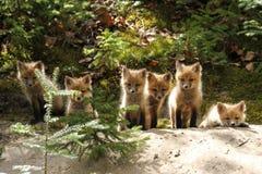 Κόκκινες εξαρτήσεις αλεπούδων που παρατάσσονται Στοκ Εικόνες