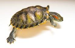 Κόκκινες διαφυγές χελωνών αυτιών Άσπρη ανασκόπηση Στοκ Φωτογραφίες