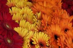 Κόκκινες, κίτρινες και πορτοκαλιές μαργαρίτες στην υπαίθρια αγορά Στοκ εικόνα με δικαίωμα ελεύθερης χρήσης