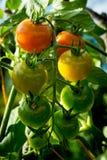 Κόκκινες, κίτρινες και πράσινες ντομάτες κερασιών στον κήπο Στοκ φωτογραφίες με δικαίωμα ελεύθερης χρήσης