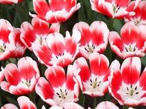 Κόκκινες και άσπρες τουλίπες Στοκ Εικόνες