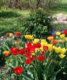 Κόκκινες και κίτρινες τουλίπες στον κήπο στοκ φωτογραφίες