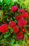 Κόκκινες μαργαρίτες στον κήπο στοκ φωτογραφία με δικαίωμα ελεύθερης χρήσης