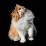Κόκκινες μεγάλες περσικές δαπάνες γατών στο σκοτεινό υπόβαθρο Στοκ Εικόνες