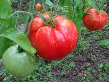 Κόκκινες ντομάτες Ντομάτα σε έναν κλαδίσκο Οικολογική φυσική γεωργία χωρίς συντηρητικά Τοματιά στοκ φωτογραφία με δικαίωμα ελεύθερης χρήσης