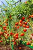 Κόκκινες ντομάτες σε ένα θερμοκήπιο Στοκ φωτογραφία με δικαίωμα ελεύθερης χρήσης