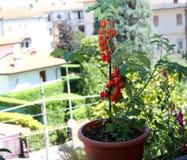 Κόκκινες ντομάτες στα δοχεία στο μπαλκόνι του πεζουλιού ενός σπιτιού μέσα Στοκ Εικόνα