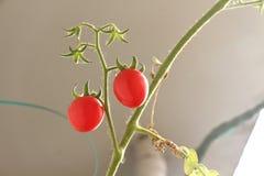 Κόκκινες ντομάτες στον κλάδο Στοκ φωτογραφία με δικαίωμα ελεύθερης χρήσης