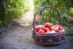 κόκκινες ντομάτες Στοκ φωτογραφία με δικαίωμα ελεύθερης χρήσης